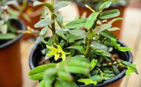 养护打理好的石斛盆栽郁郁葱葱