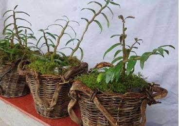 铁皮石斛盆栽,非常适合家庭养植