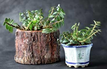 铁皮石斛盆栽美图