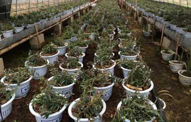 上海郊区建成最大规模铁皮石斛盆栽基地