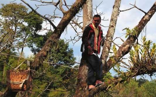 上树去采野生紫皮石斛