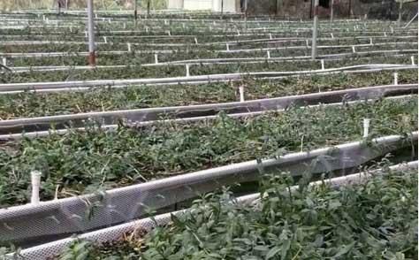 梁河县铁皮石斛主要以大棚种植为主