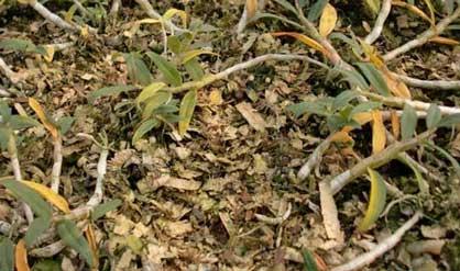 铁皮石斛黄叶的原因图片