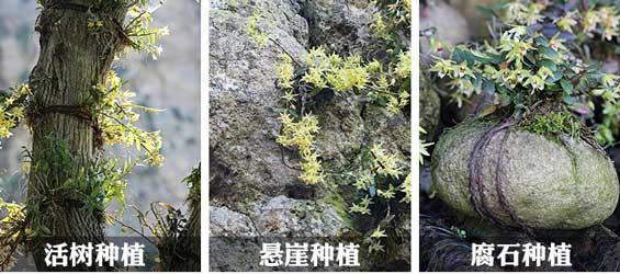 仿野生种植铁皮石斛种植的几种方式