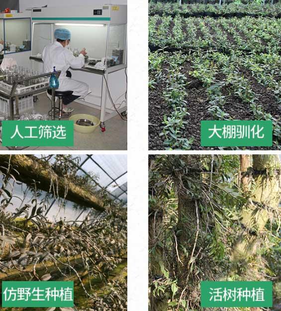 仿野生种植铁皮种植技术图解