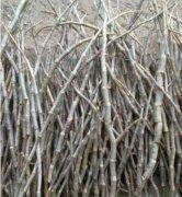 铁皮石斛与紫皮石斛如何