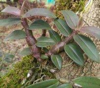 紫皮石斛和铁皮石斛的区