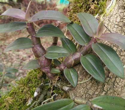 仿野生种植的铁皮石斛