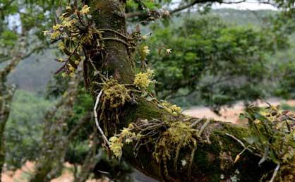 仿野生种植的铁皮石斛很受市场欢迎