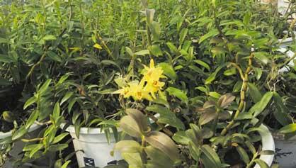 跌至种植成本线 台州铁皮石斛产业步入洗牌期