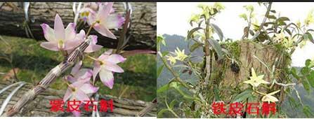 紫皮石斛花与铁皮石斛花对比
