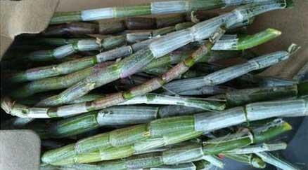 仿野生种植的优质石斛很受市场欢迎