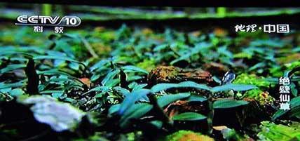 央视多次报告将铁皮石斛种植推向了一个很危险的境地