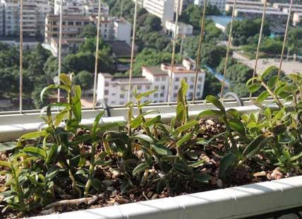 阳台种植铁皮石斛随时想吃就吃