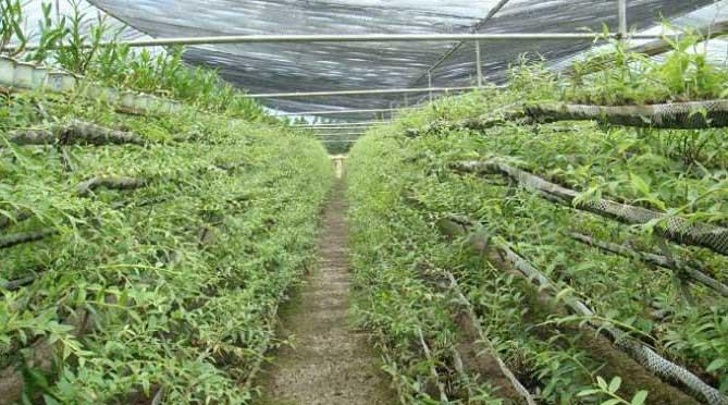 铁皮石斛种植门槛低,将会持续供需失衡