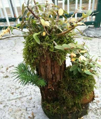 铁皮石斛盆栽是近几年比较热门的新销路
