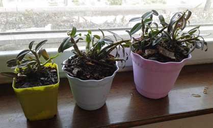 家庭种植的铁皮石斛盆栽放在明亮的阳台上就可以