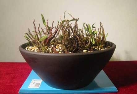 铁皮石斛盆栽不用刻意施肥