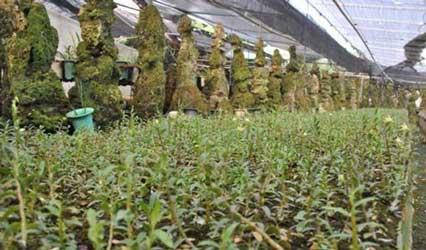 福建铁皮石斛种植