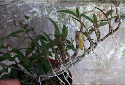 长成这样的铁皮石斛盆栽需要分株处理
