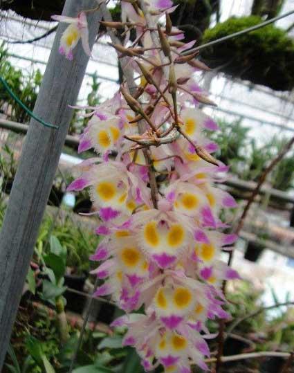 紫皮石斛花盛开要比铁皮石斛花繁盛得多