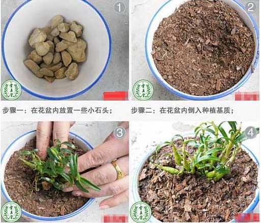 铁皮石斛盆栽移植技巧