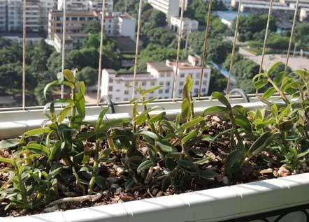 阳台种植铁皮石斛