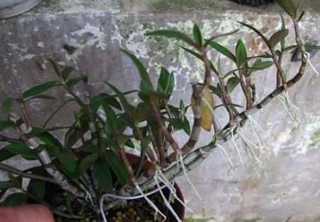 铁皮石斛不长叶子发新芽图片