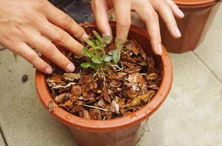 新手种植铁皮石斛