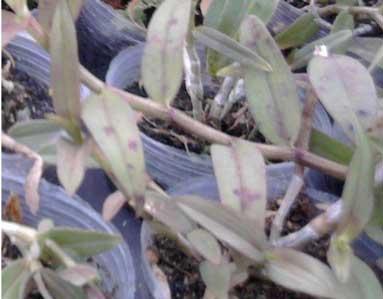 石斛褐斑病图片