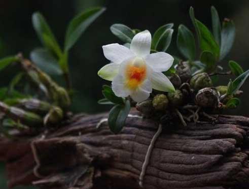 家庭种植盆栽石斛兰图片