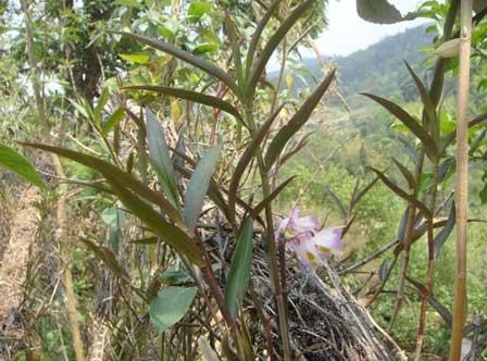 野生的紫皮石斛鲜条花叶