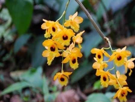 马鞭石斛花图片