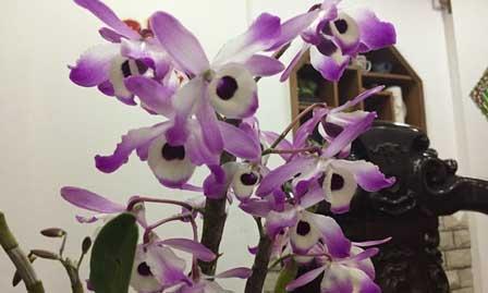 金钗石斛花图片
