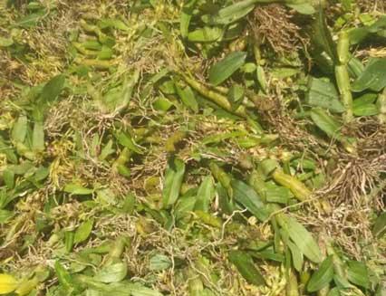 野生珍虫石斛图片
