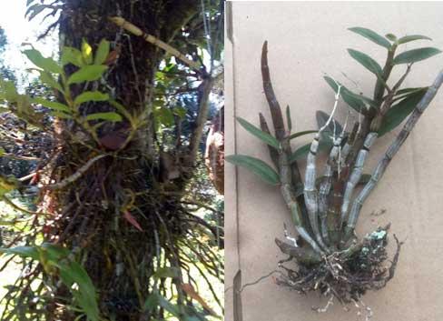缅甸野生紫皮石斛图片