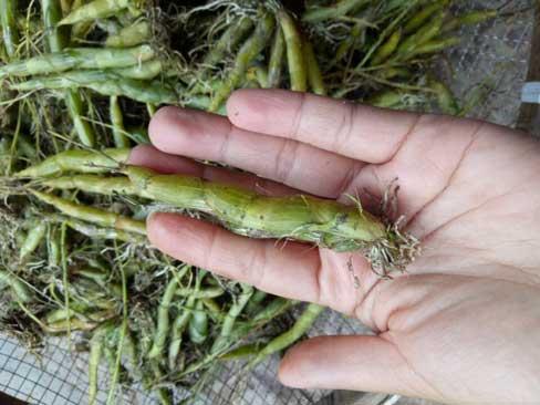 缅甸野生珍虫石斛细节照片