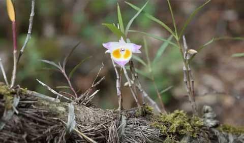 紫皮石斛图片