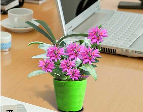红莲石斛盆栽图片