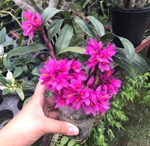 红莲石斛盆栽