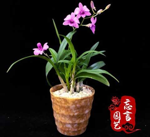 秋石斛图片
