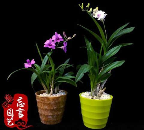 秋石斛盆栽