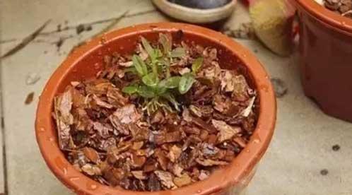 铁皮石斛盆栽图示