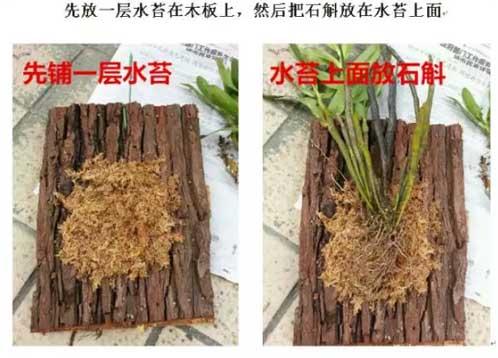 铁皮石斛盆栽板植