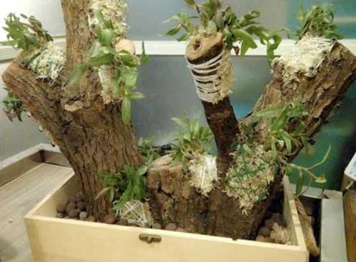 铁皮石斛树桩种植