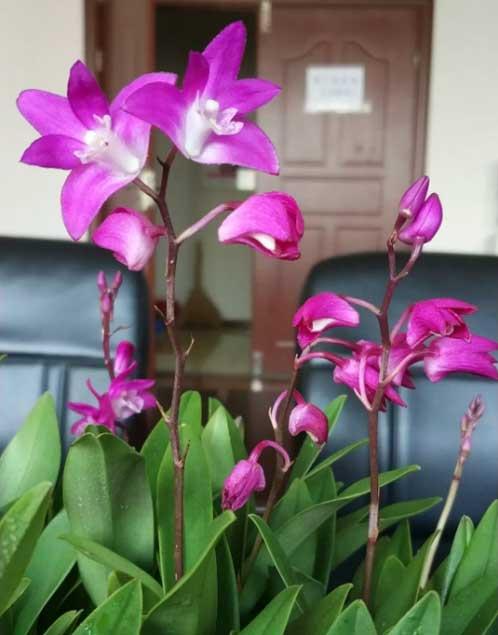 澳洲石斛花的细节