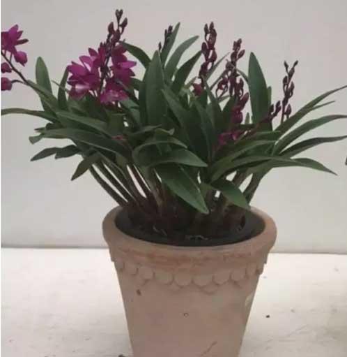 澳洲石斛盆栽