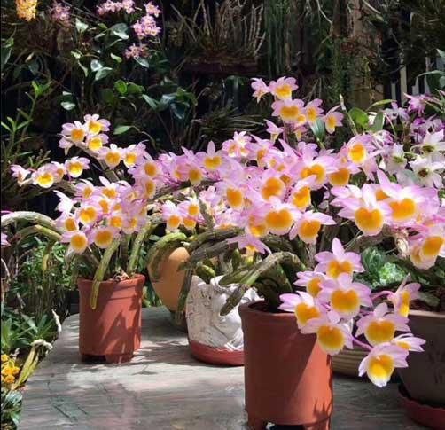 玫瑰石斛盆栽图片