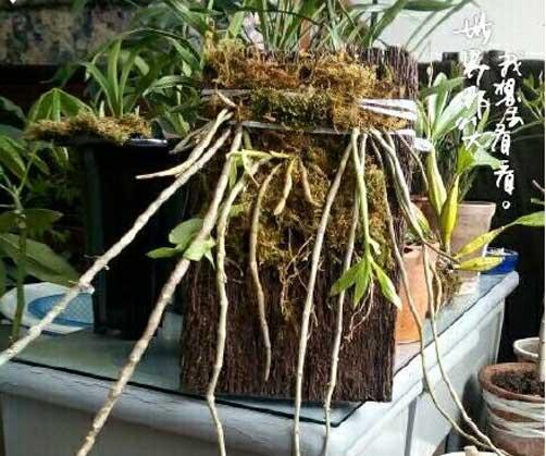 玫瑰石斛盆栽种植图片