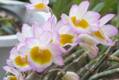 玫瑰石斛花图片